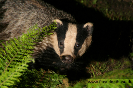 Wildlife - Europen Badger hiding in ferns at night.