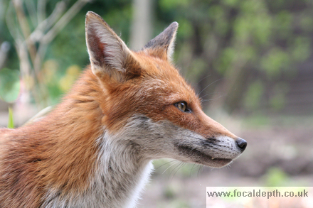 Wildlife - Red Fox stares into distance.