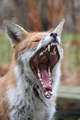 Wildlife - Red Fox yawning.