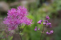 Flowers - Meadow rue, Thalictrum