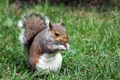 Wildlife - Grey Squirrel eating nuts sitting on grass
