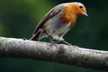 Wildlife - Robin sitting on a branch